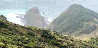 Kahira, un árbol con más de 800 años, sagrado para los maoríes