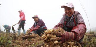 Plantación en Bijie, Guizhou, que ha permitido salir de la pobreza extrema a más de 60.000 habitantes