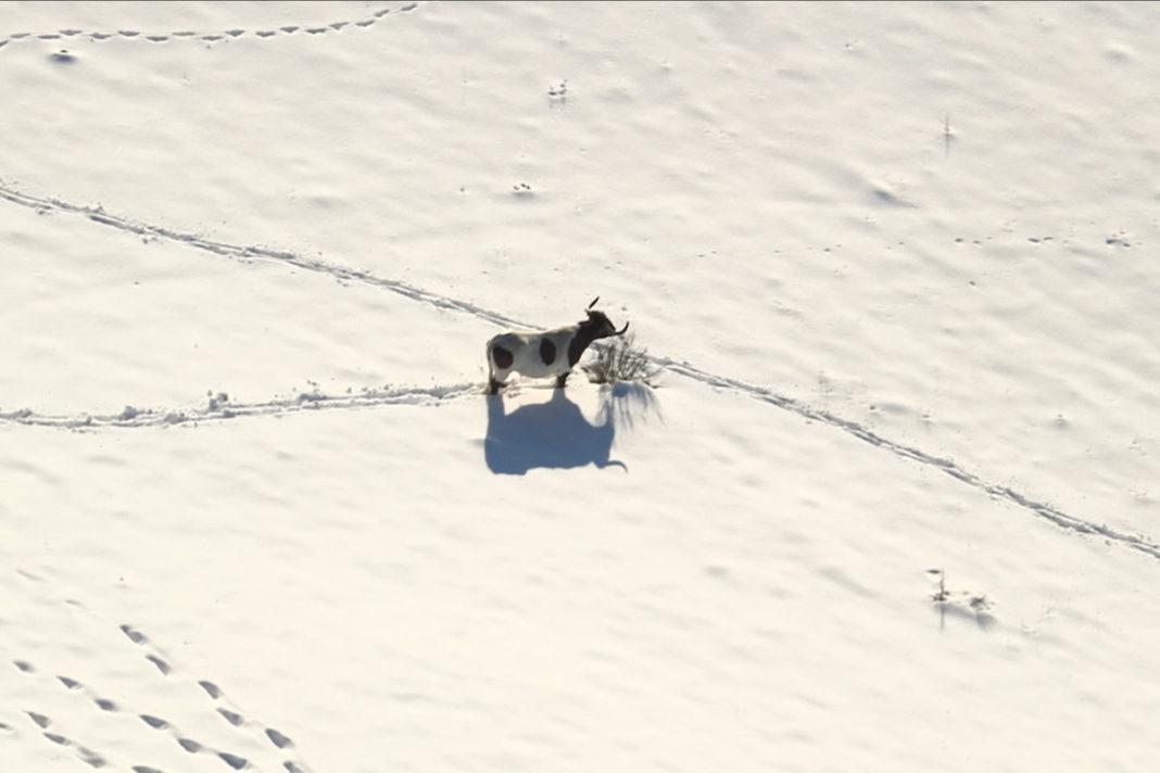 Madrid rural: ganado aislado por la nieve de Filomena en Colmenar Viejo